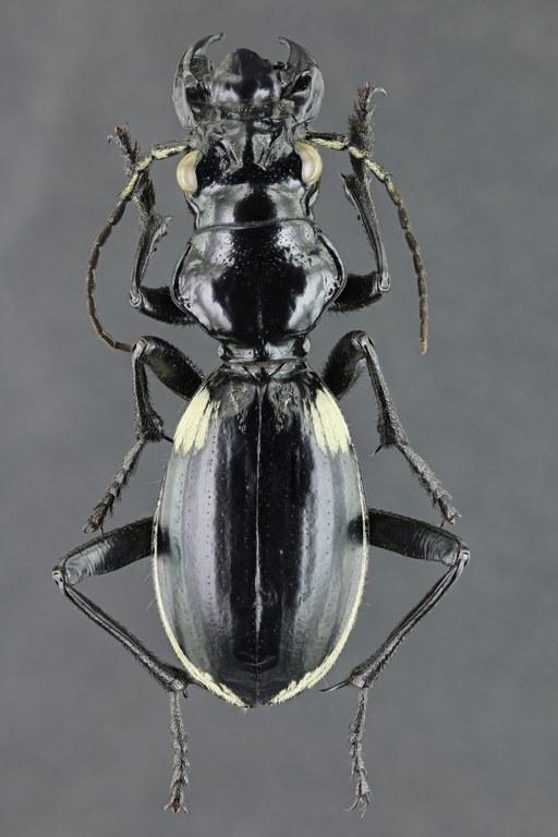 Anthia (Termophilum) venator 42722zs35.jpg