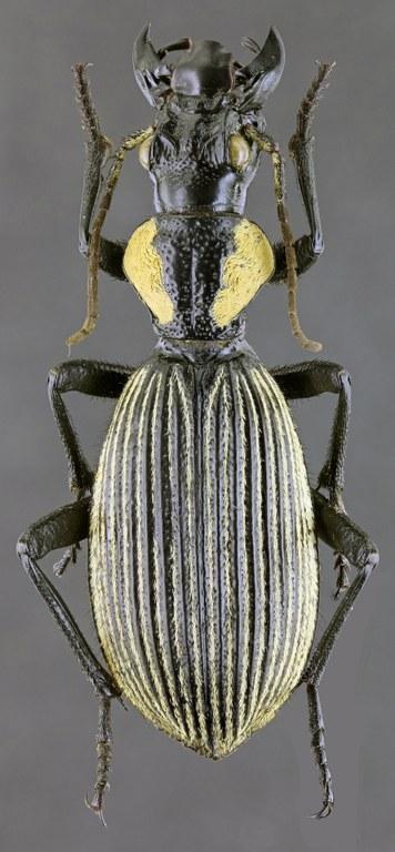 Termophilum burchelli 42601zs13.jpg