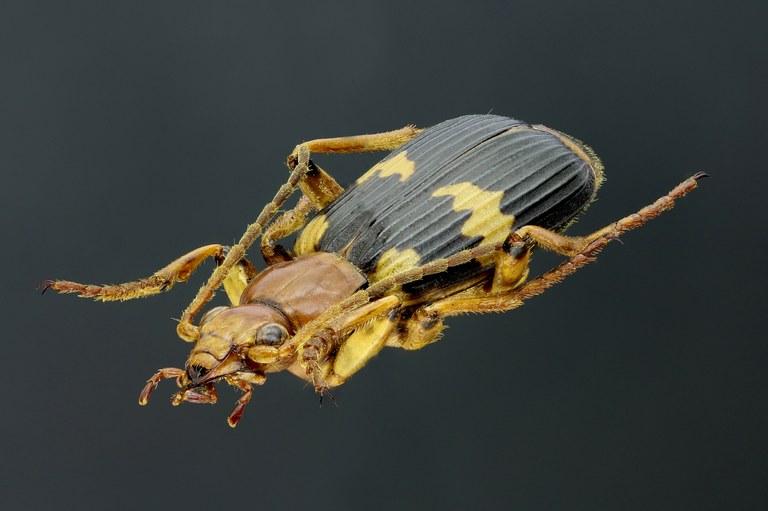 Pheropsophus (Stenaptinus) hispanicus 41302zs41.jpg