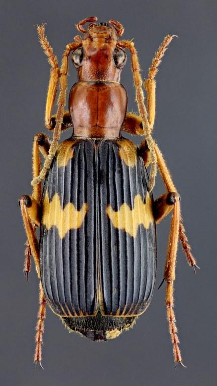 Pheropsophus (Stenaptinus) hispanicus 41342zs56.jpg