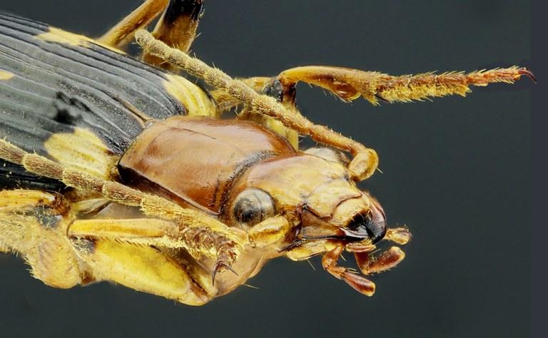 Pheropsophus (Stenaptinus) hispanicus 41360zs09.jpg