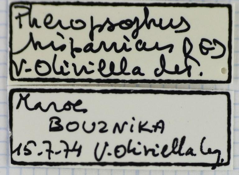 Pheropsophus (Stenaptinus) hispanicus 41410.jpg