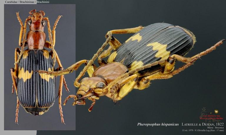 Pheropsophus (Stenaptinus) hispanicus .jpg