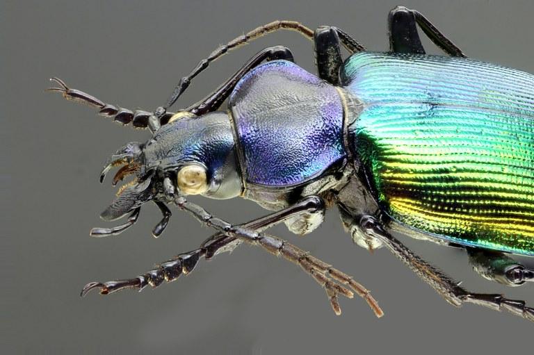Calosoma (Calosoma) sycophanta 69158zs03.jpg