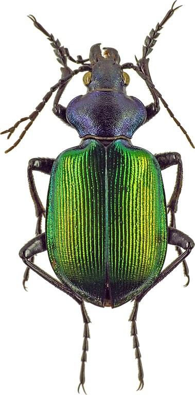 Calosoma (Calosoma) sycophanta 7747cz50.jpg