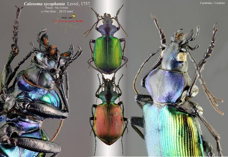 Calosoma (Calosoma) sycophanta.jpg