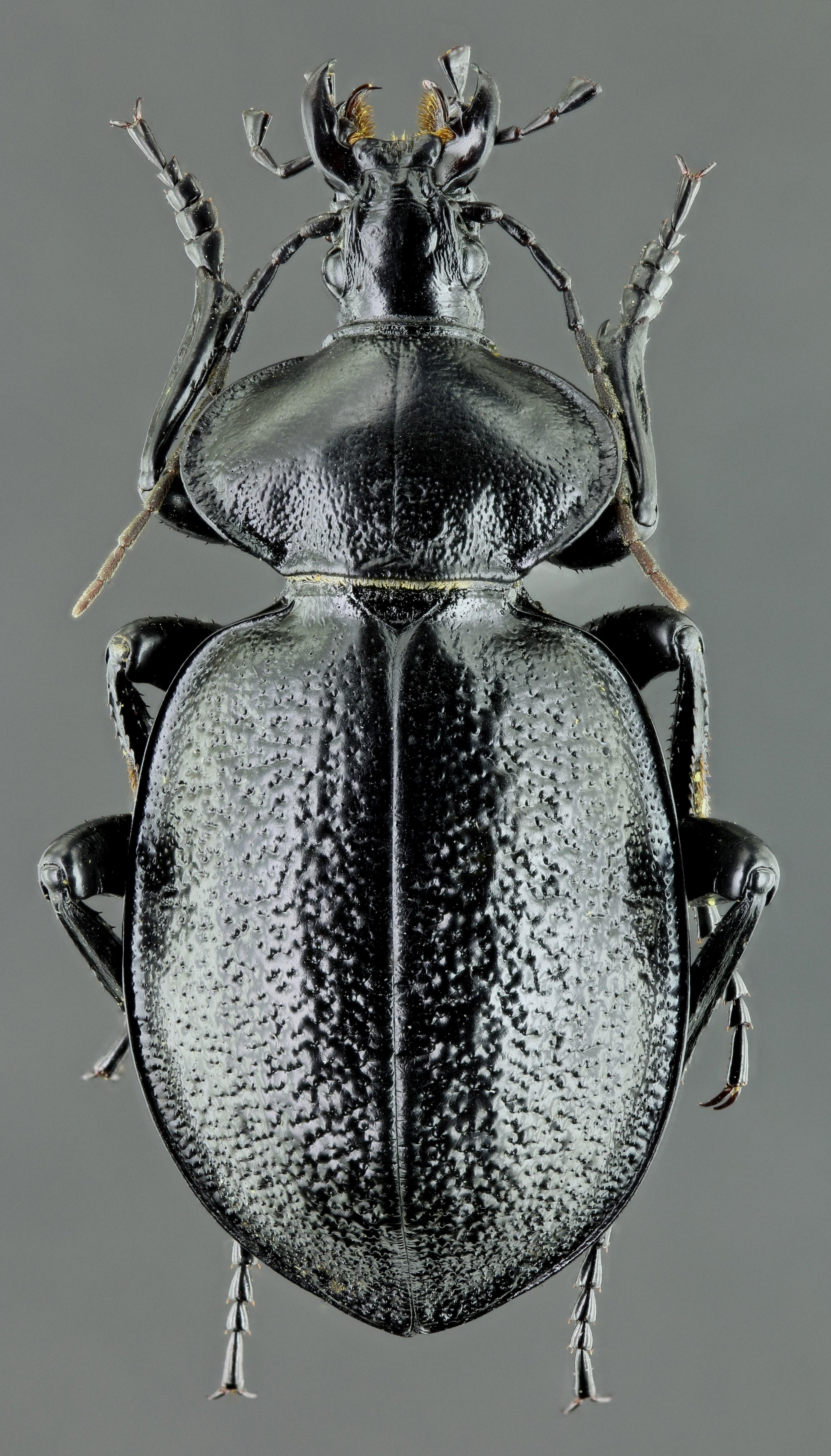 Cathoplius asperatus 43496zs13.jpg