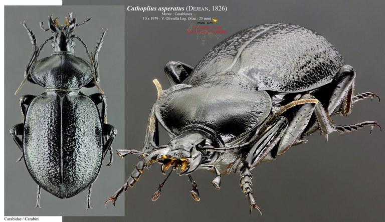 Cathoplius asperatus pl.jpg