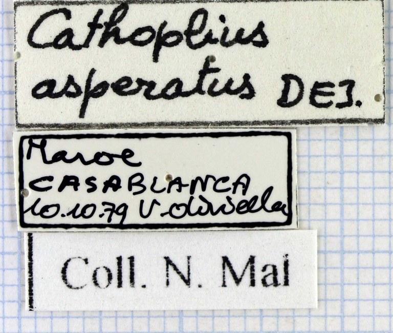 Cathoplius asperatus 43271.jpg