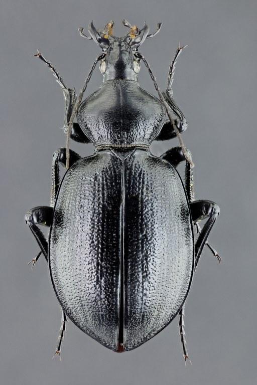 Cathoplius stenocephalus 43559zs80.jpg