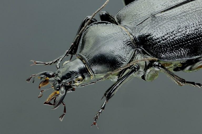 Cathoplius stenocephalus 43581zs12.jpg