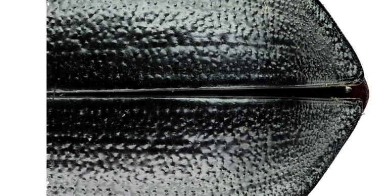 Cathoplius stenocephalus 43613zs62.jpg