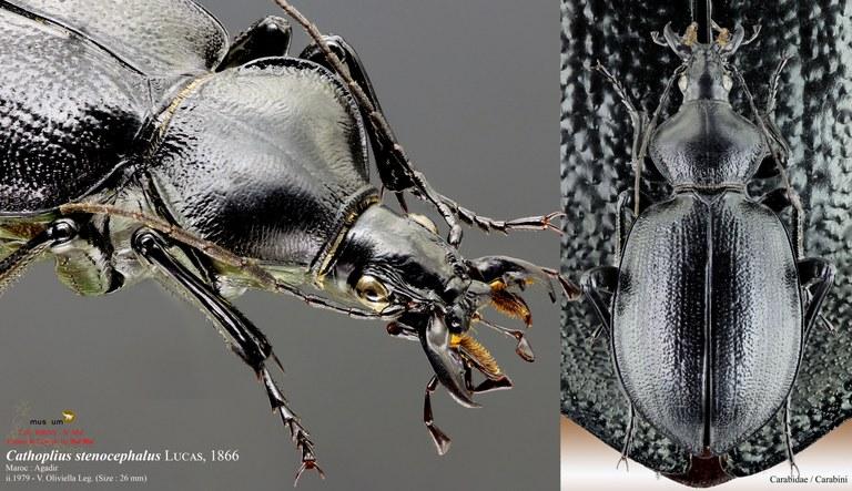 Cathoplius stenocephalus pl.jpg