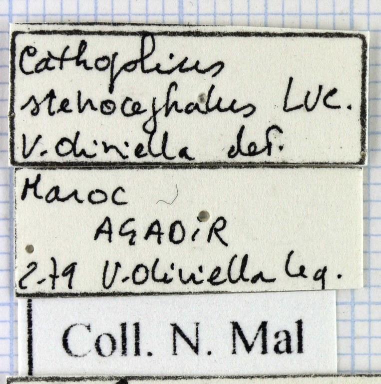 Cathoplius stenocephalus 43271.jpg
