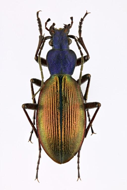 Ceroglossus chilensis 62532zs41.jpg