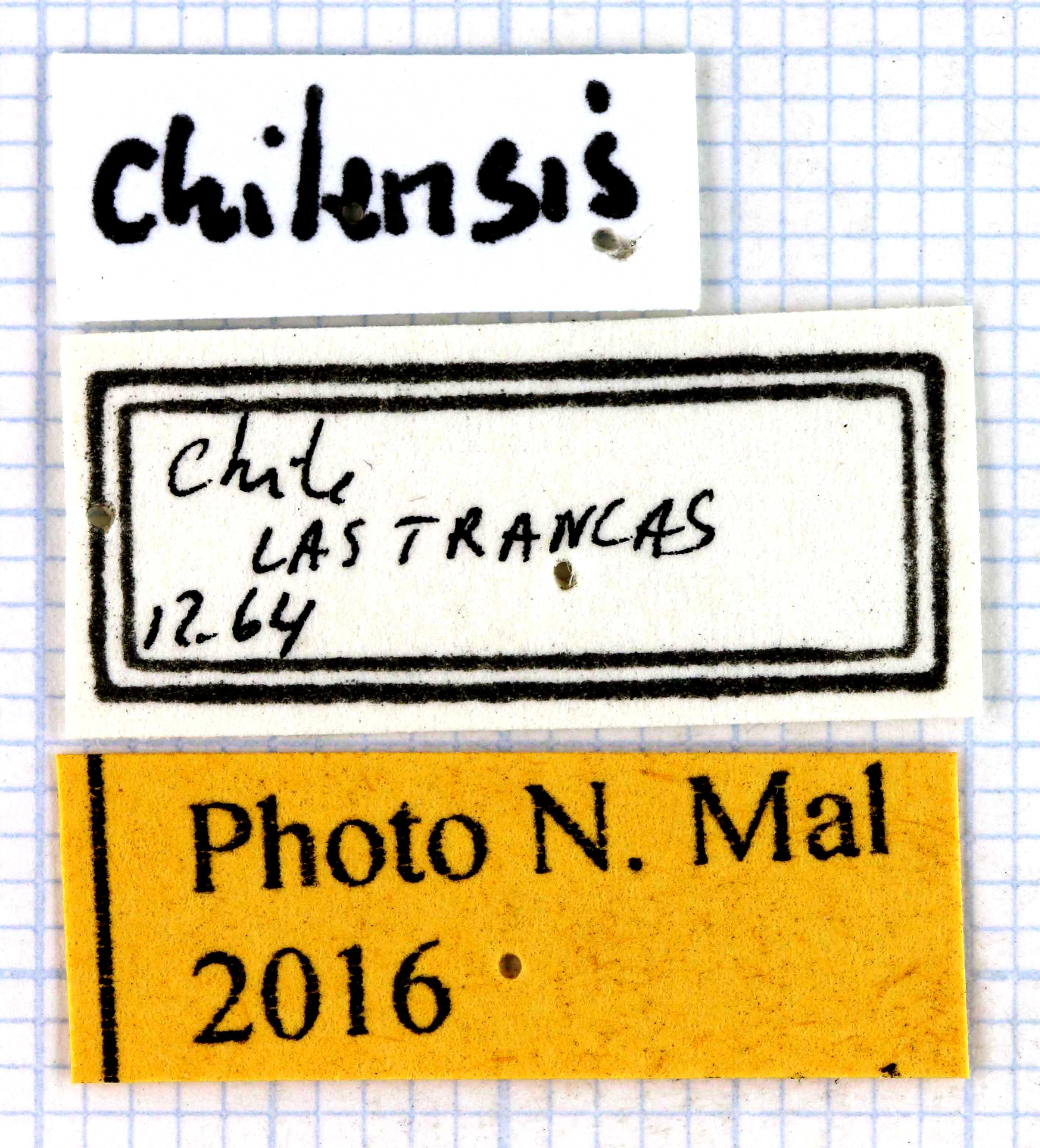 Ceroglossus chilensis.jpg