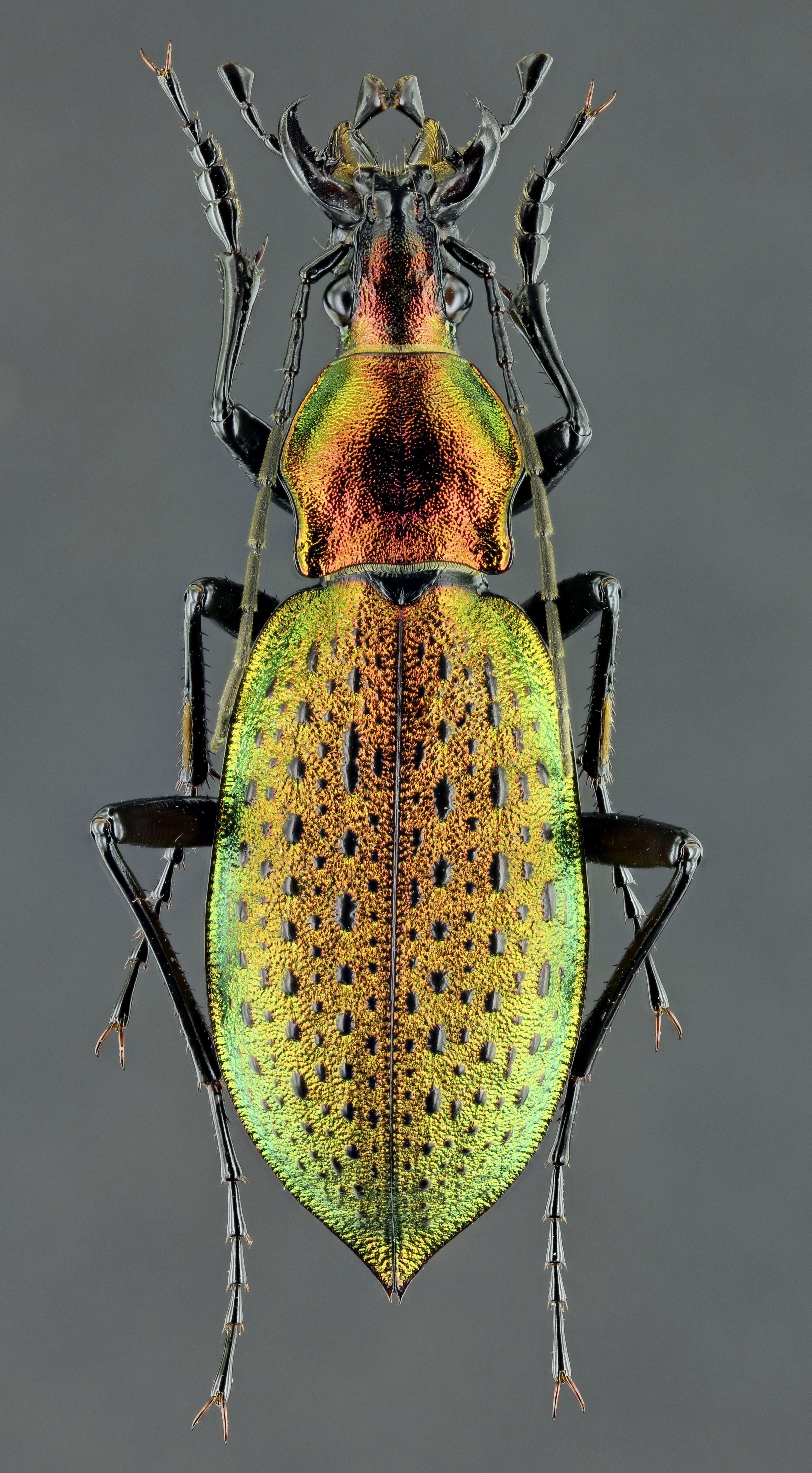 Coptolabrus smaragdinus m 41118zs34.JPG