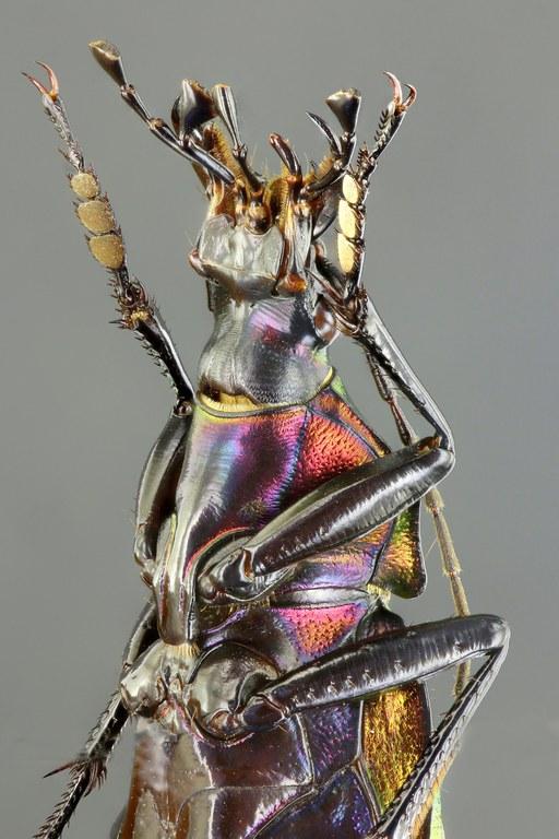 Coptolabrus smaragdinus 61818zs55.jpg