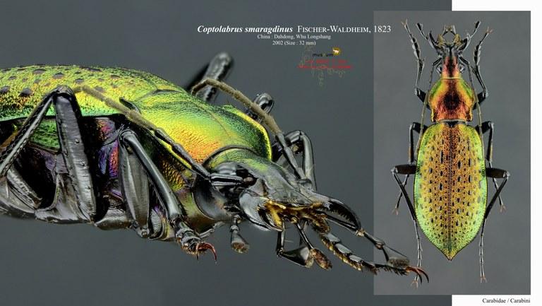 Coptolabrus smaragdinus.jpg