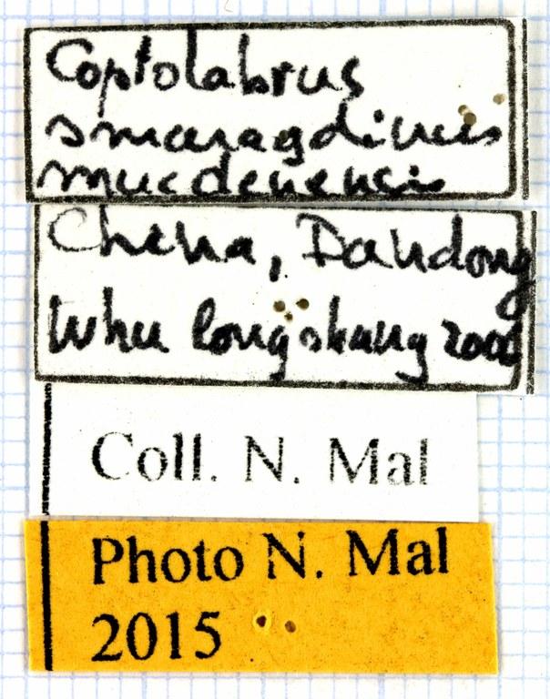 Coptolabrus smaragdinus 63715.jpg