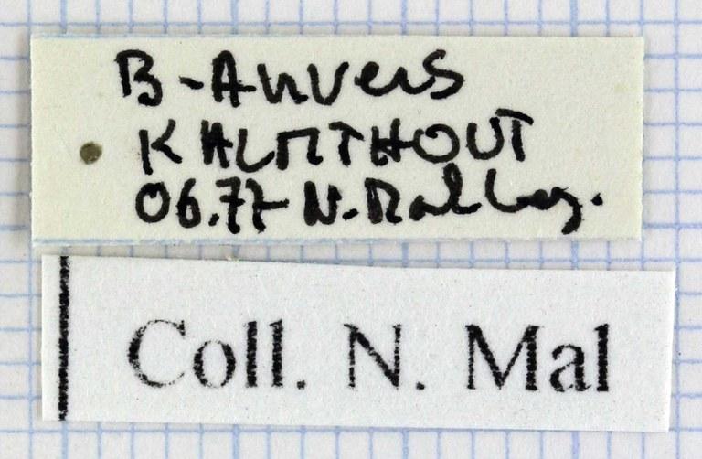 Hemicarabus nitens 43271.jpg