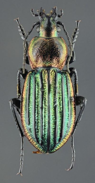 Hemicarabus nitens 43409zs24.jpg