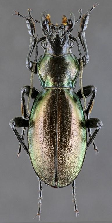 Lamprostus nordmanni pseudorobustus 41135zs47.jpg