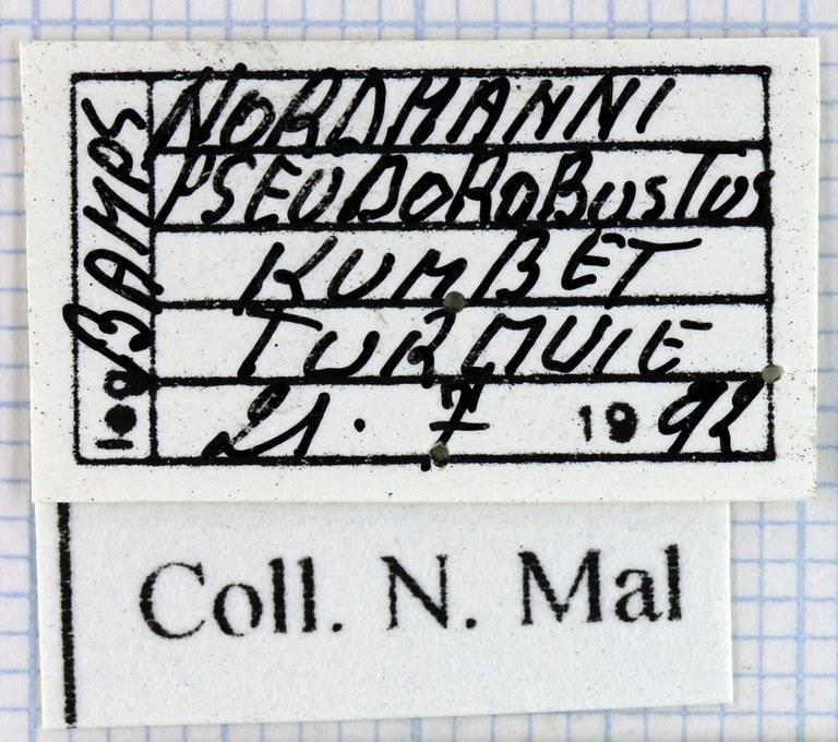 Lamprostus nordmanni pseudorobustus 41190.jpg