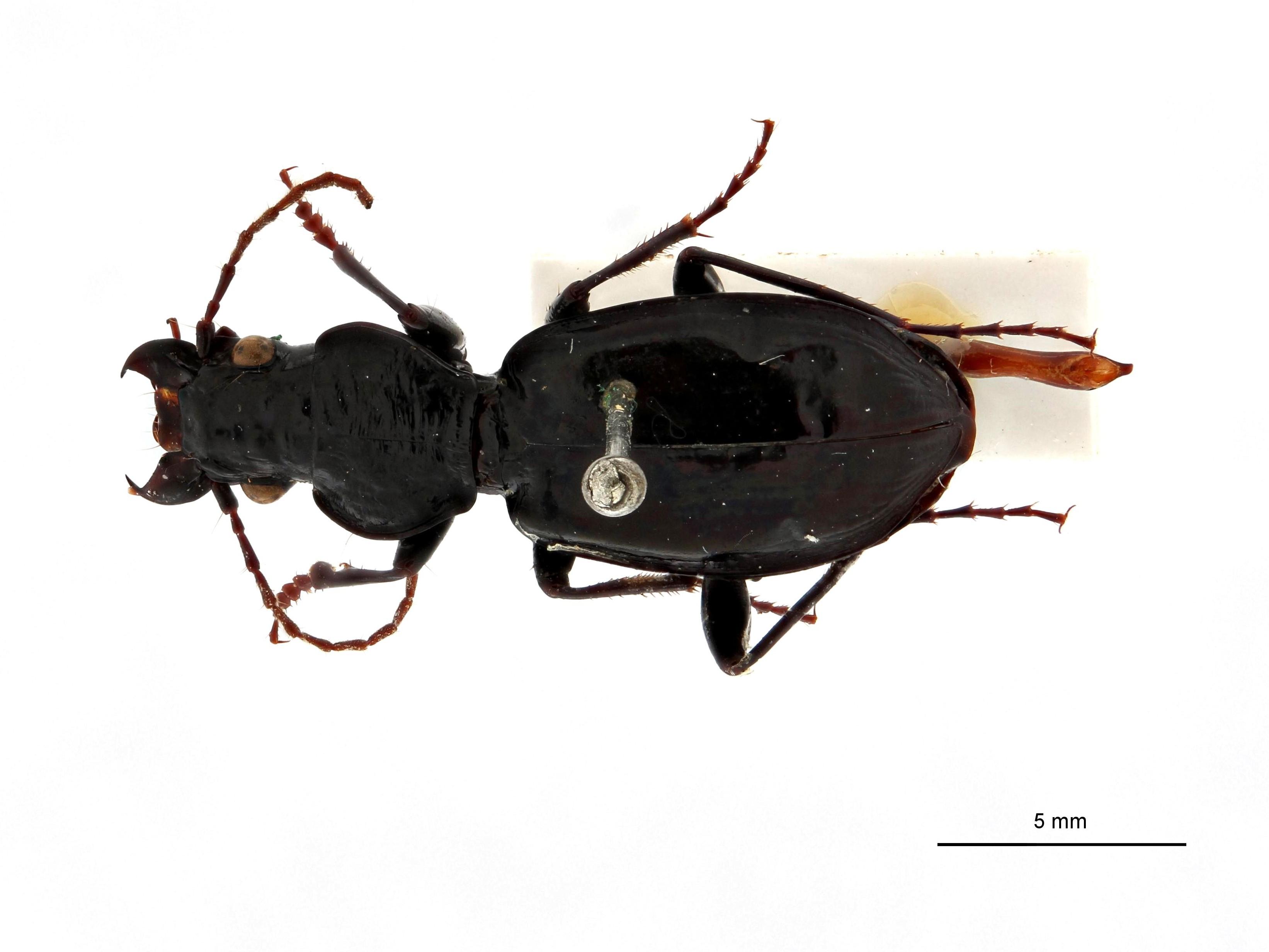lesticus (Lesticus) liparops t D.jpg