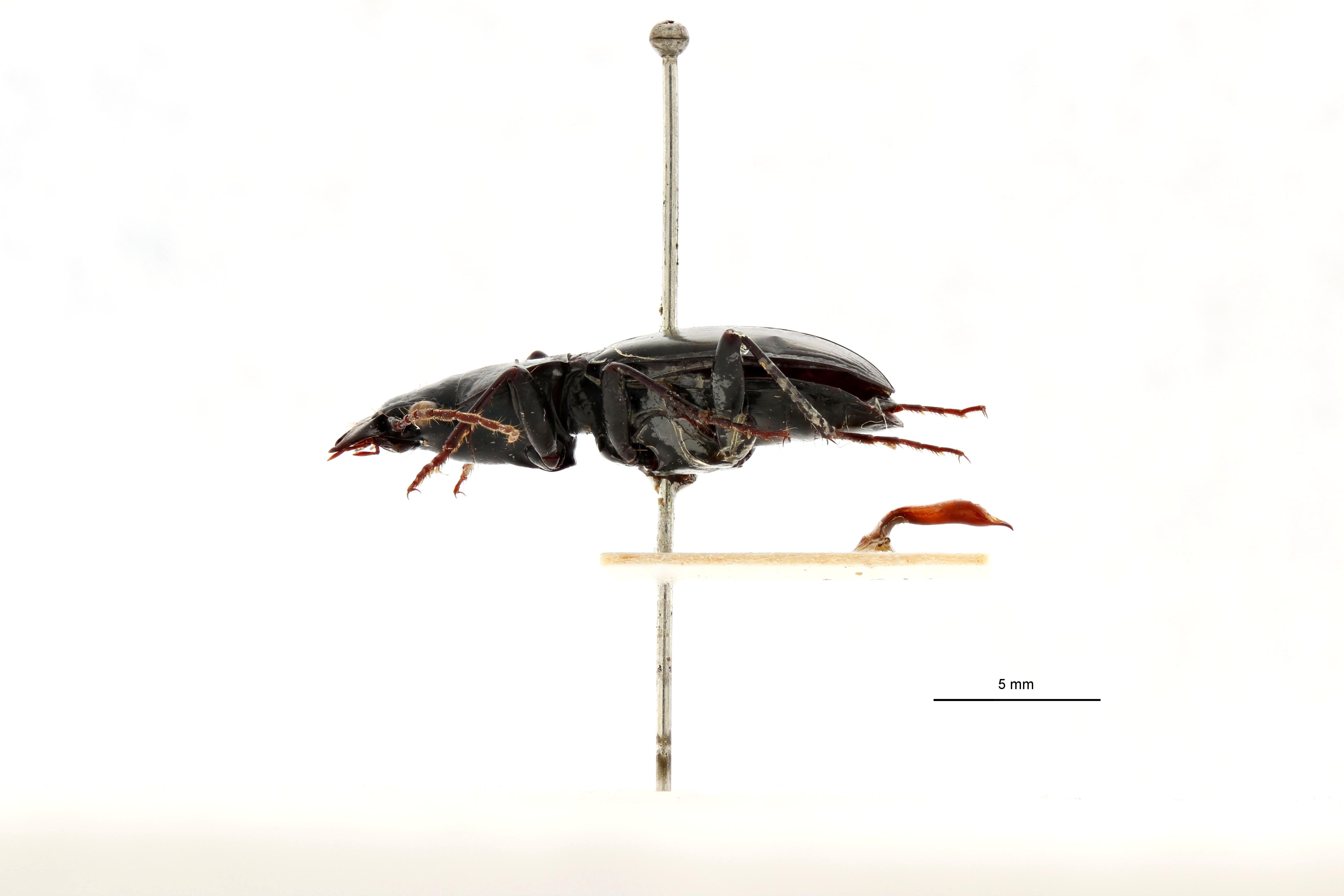 lesticus (Lesticus) liparops t L.jpg