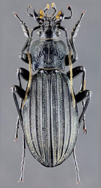 Megodontus septemcarinatus 46545zs59.jpg