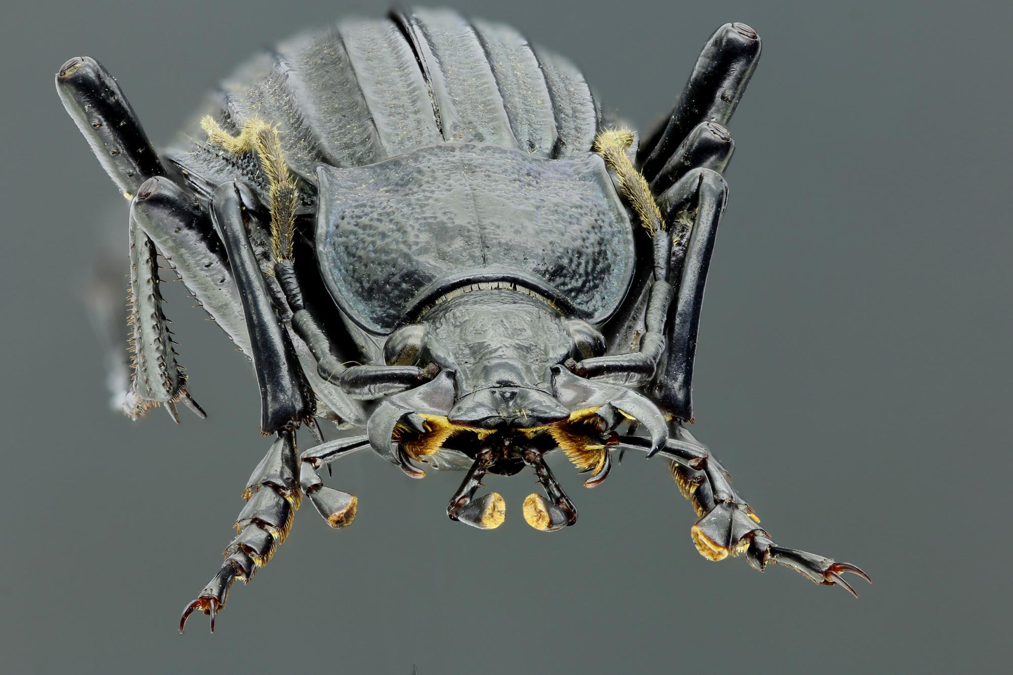 Megodontus septemcarinatus 46566zs12.jpg