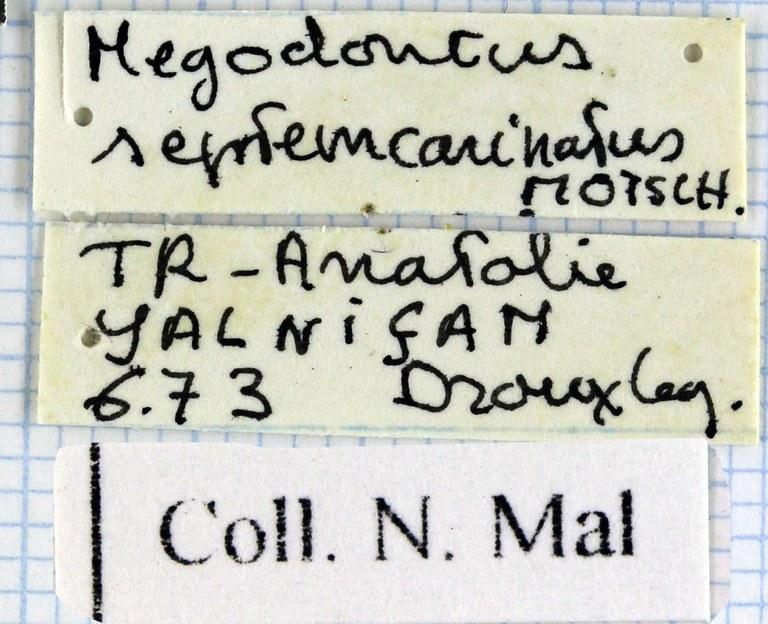Megodontus septemcarinatus 46613.jpg