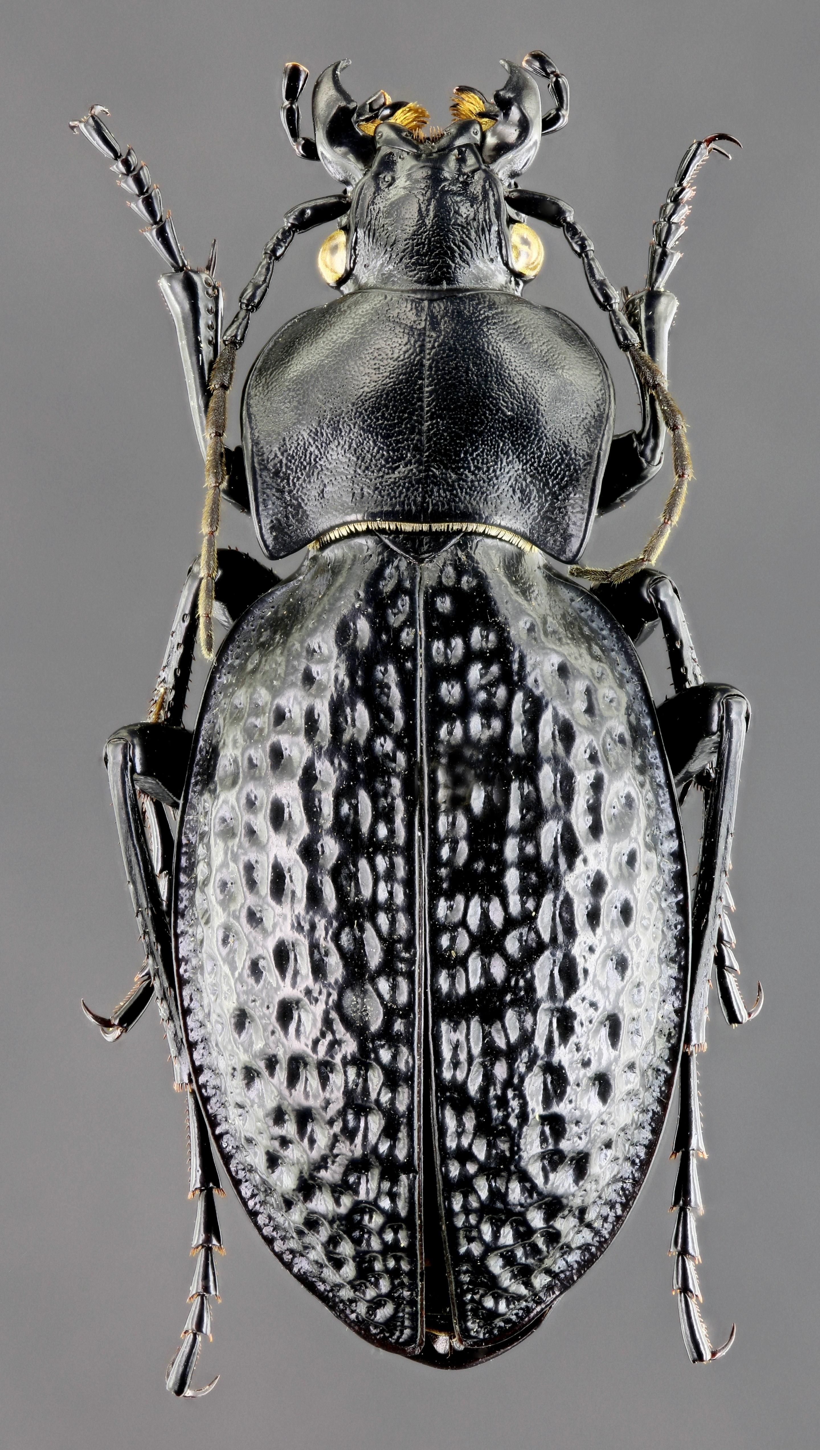 Pachystus cavernosus variolatus 43440zs54.jpg