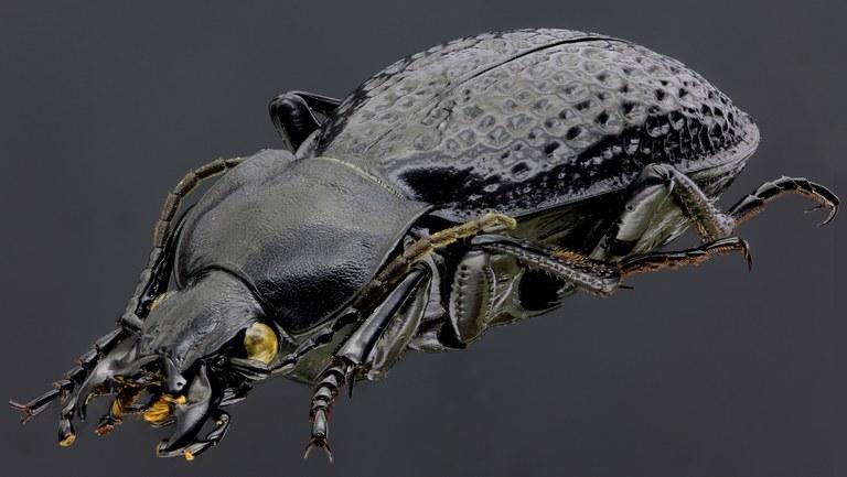 Pachystus cavernosus variolatus 43455zs95.jpg