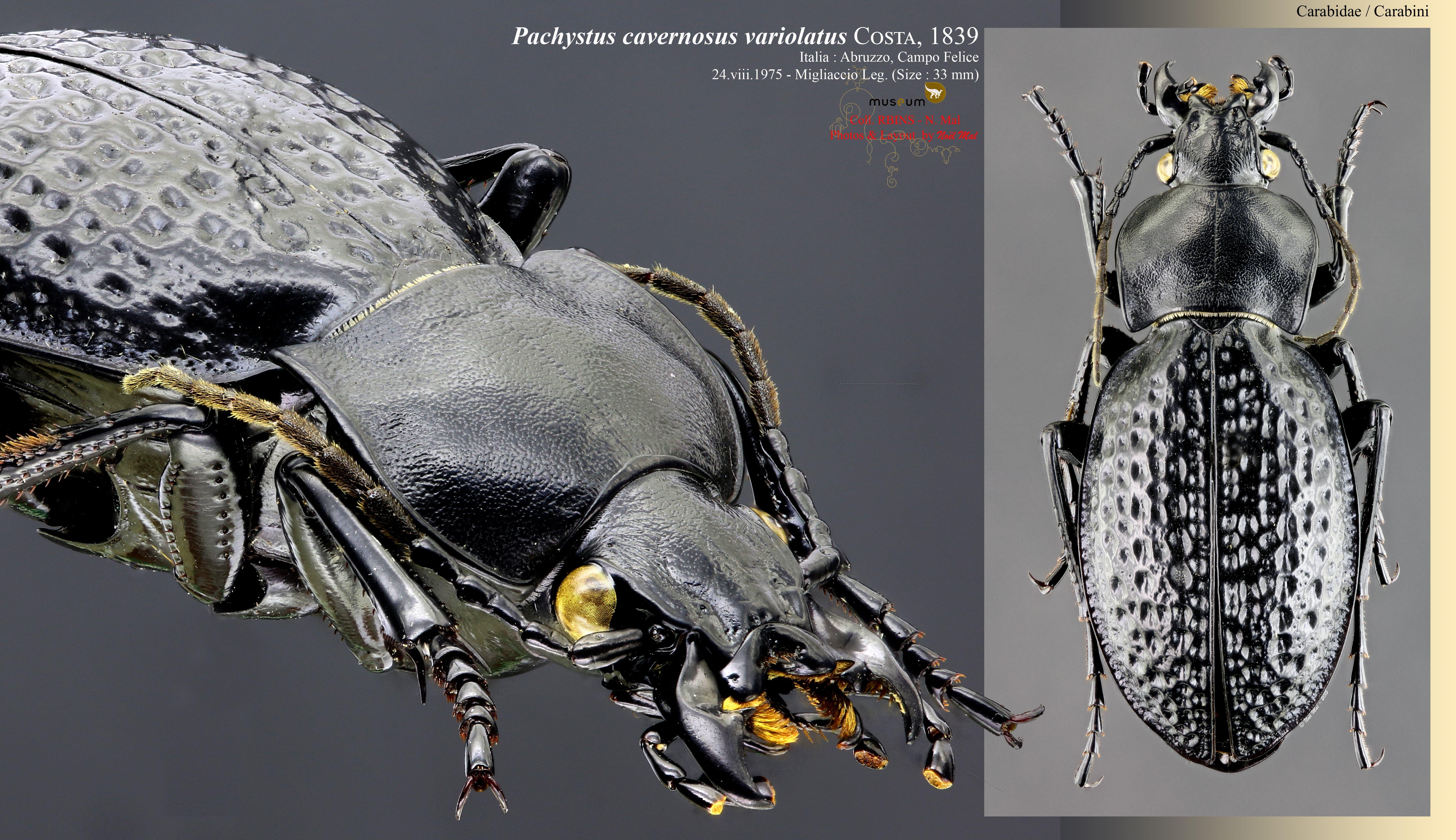 Pachystus cavernosus variolatus.jpg