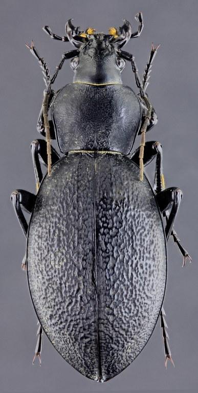 Procrustes coriaceus 46843zs57.jpg