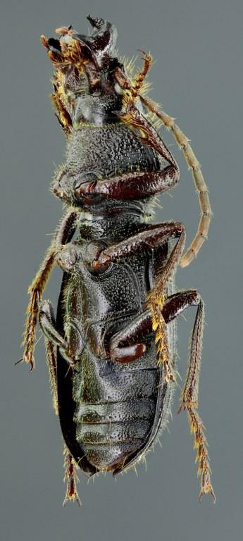 Carterus tricuspidatus 45411zs30.jpg