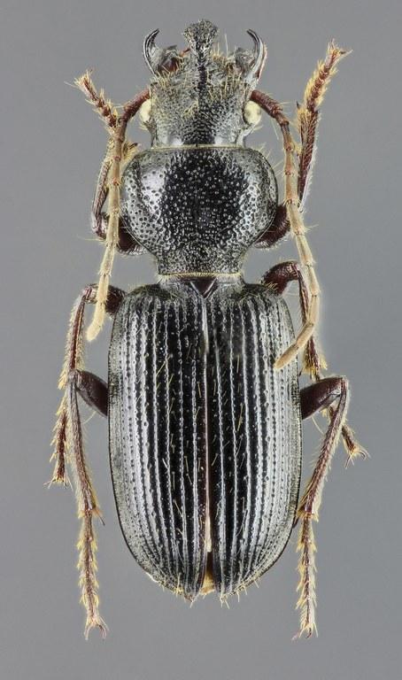 Carterus tricuspidatus 45431zs49.jpg