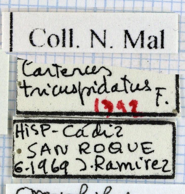 Carterus tricuspidatus 45542.jpg