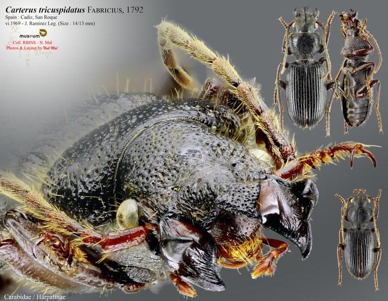 Carterus tricuspidatus.jpg