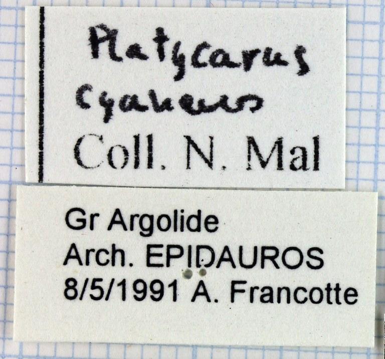 Pachycarus (Mystropterus) cyaneus 45542.jpg