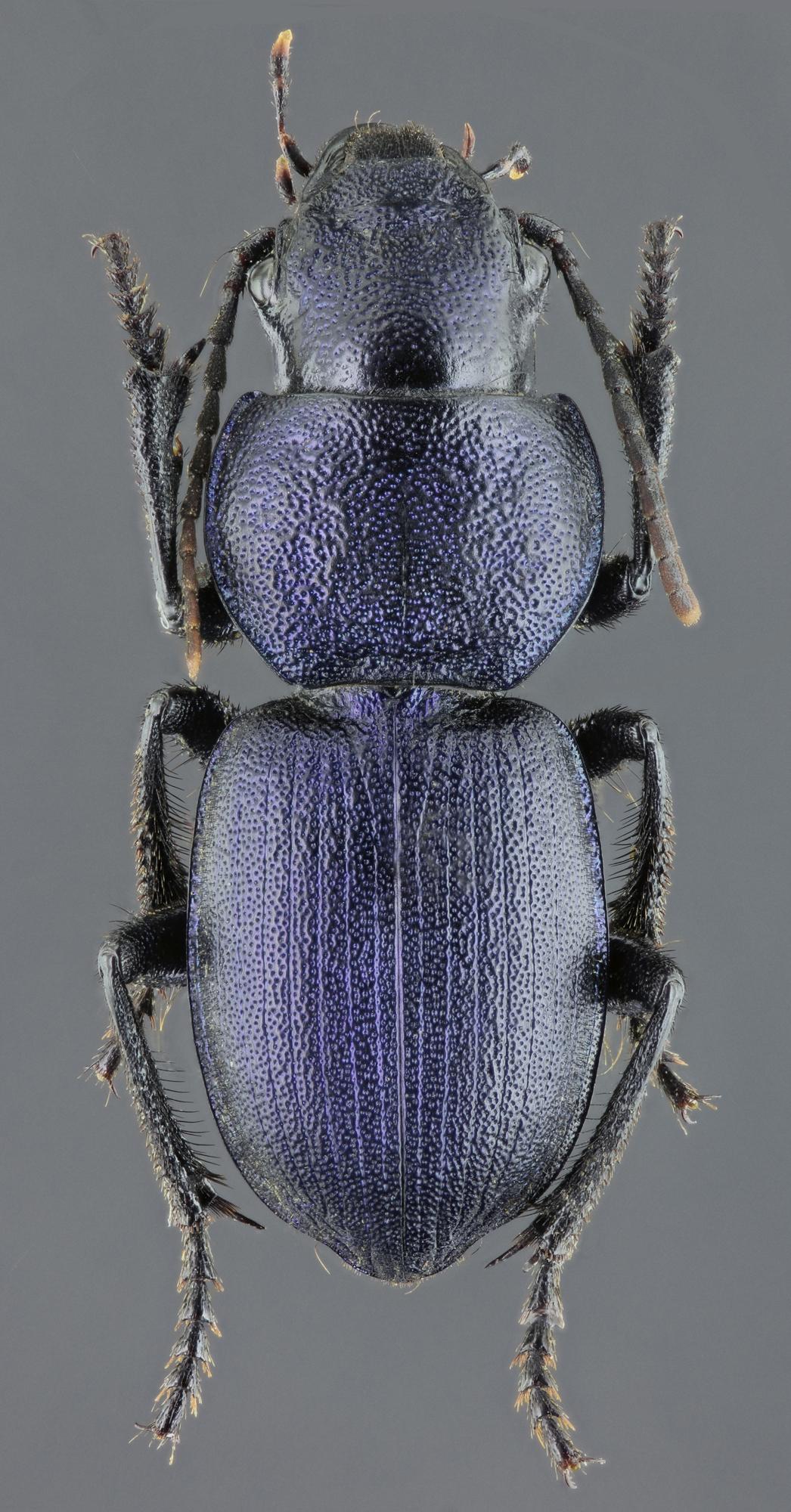 Pachycarus (Mystropterus) cyaneus 45807zs37.jpg