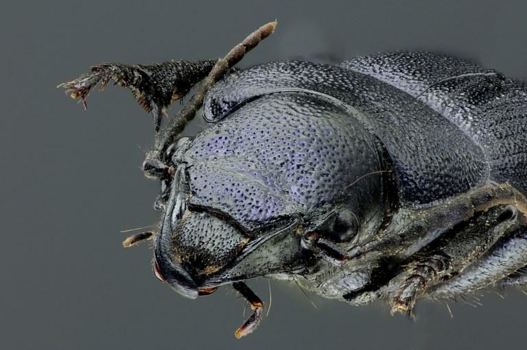 Pachycarus (Mystropterus) cyaneus 45839zs10.jpg