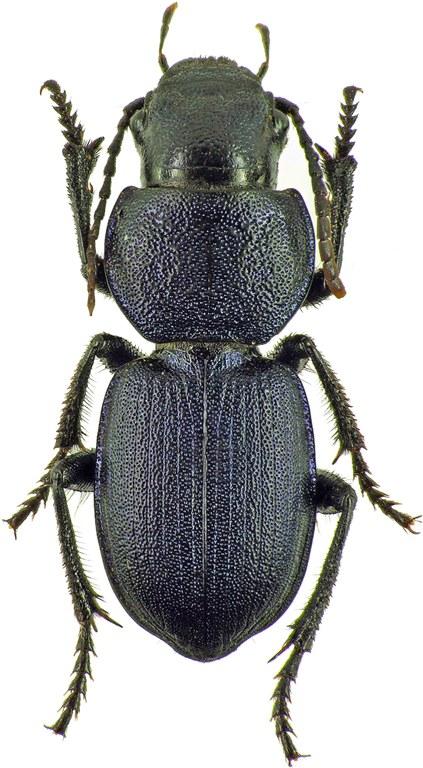 Pachycarus (Mystropterus) cyaneus 7832cz36.jpg