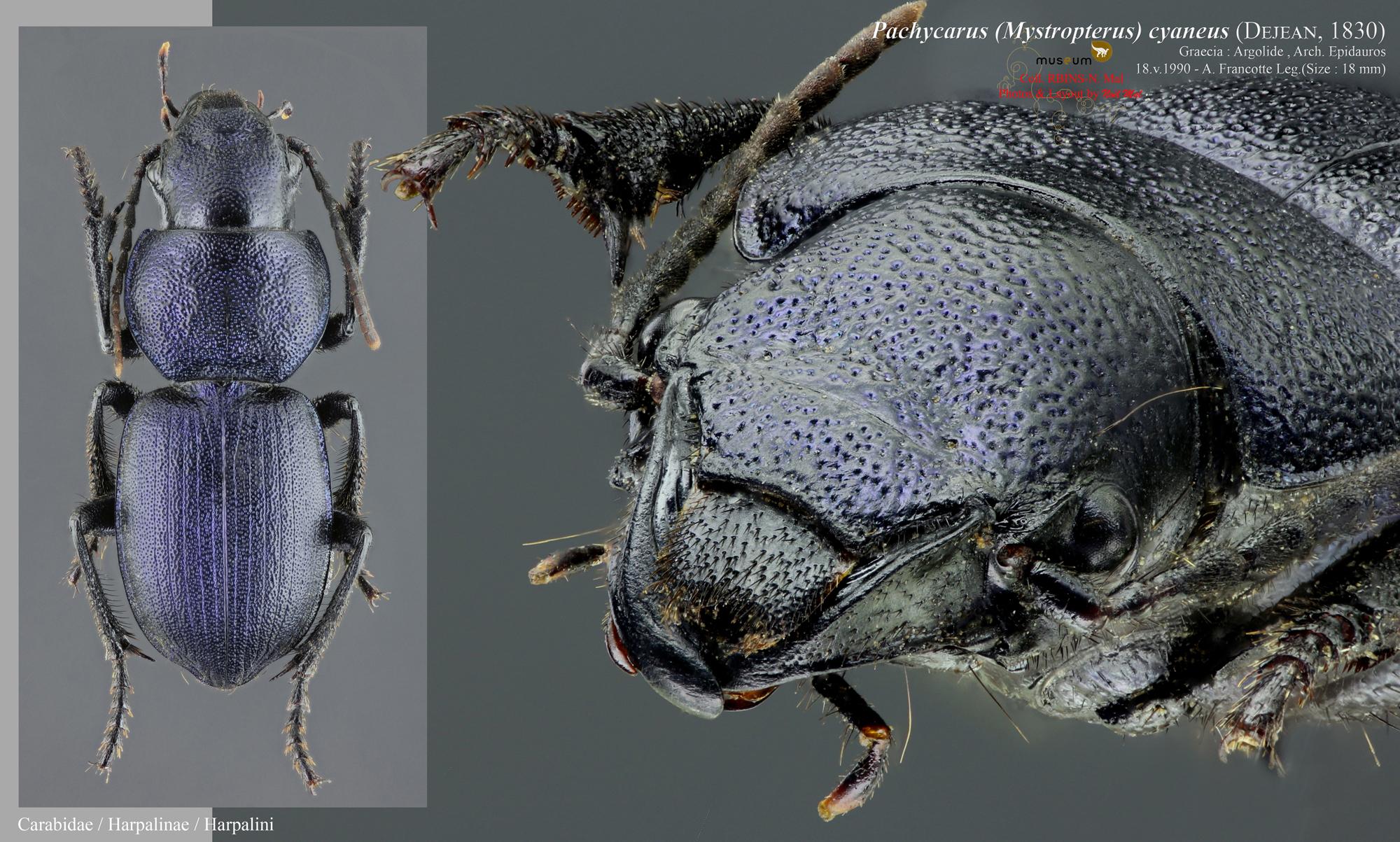 Pachycarus (Mystropterus) cyaneus WWB.jpg