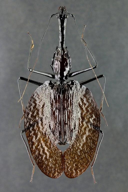 Mormolyce hagenbachi 44900zs07.jpg