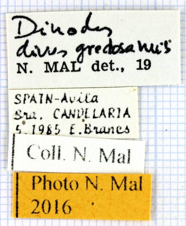 Chlaenius (Dinodes) dives gredosanus lablel 63716.jpg