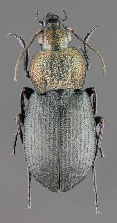 Chlaenius (Dinodes) dives gredosanus m 49061zs78.jpg