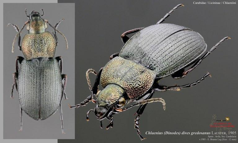 Chlaenius (Dinodes) dives gredosanus.jpg
